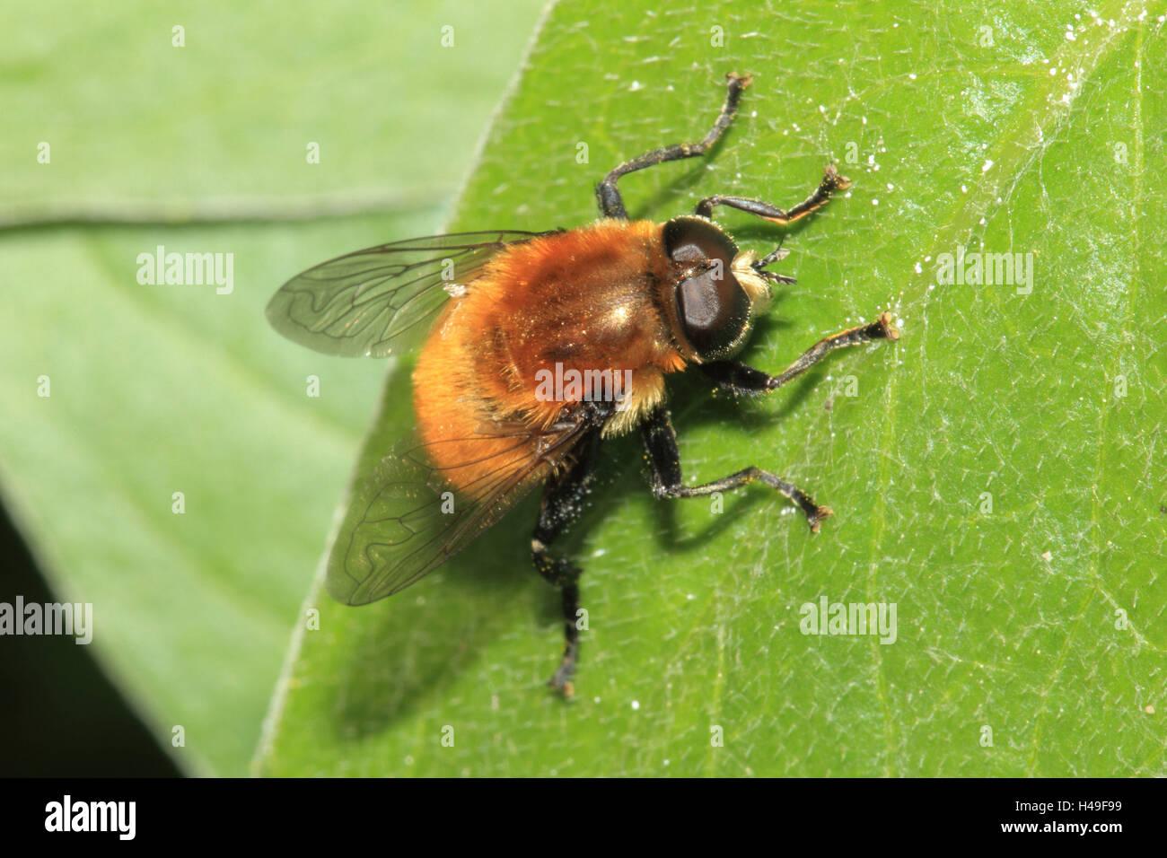 Yellow-hairy Hummelschwebfliege, leaves, medium close-up, landscape format, animal, wild animal, Hummelschwebfliege, - Stock Image