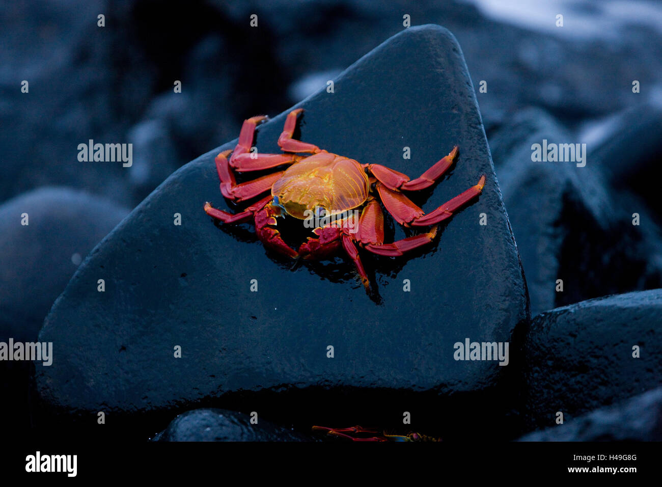 Red cliff crab, Grapsus grapsus, Ecuador, the Galapagos Islands, South America, Galapagos, island, coast, rock, - Stock Image