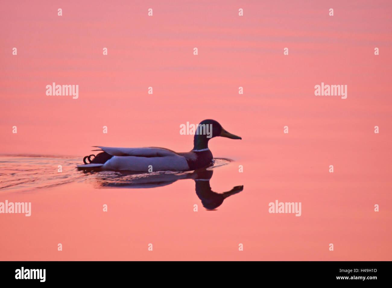 Mallard drake at dusk, - Stock Image