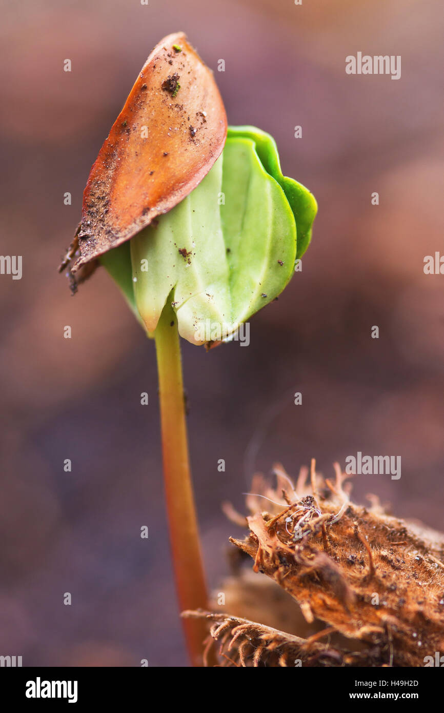 beech seedling, close-up, - Stock Image