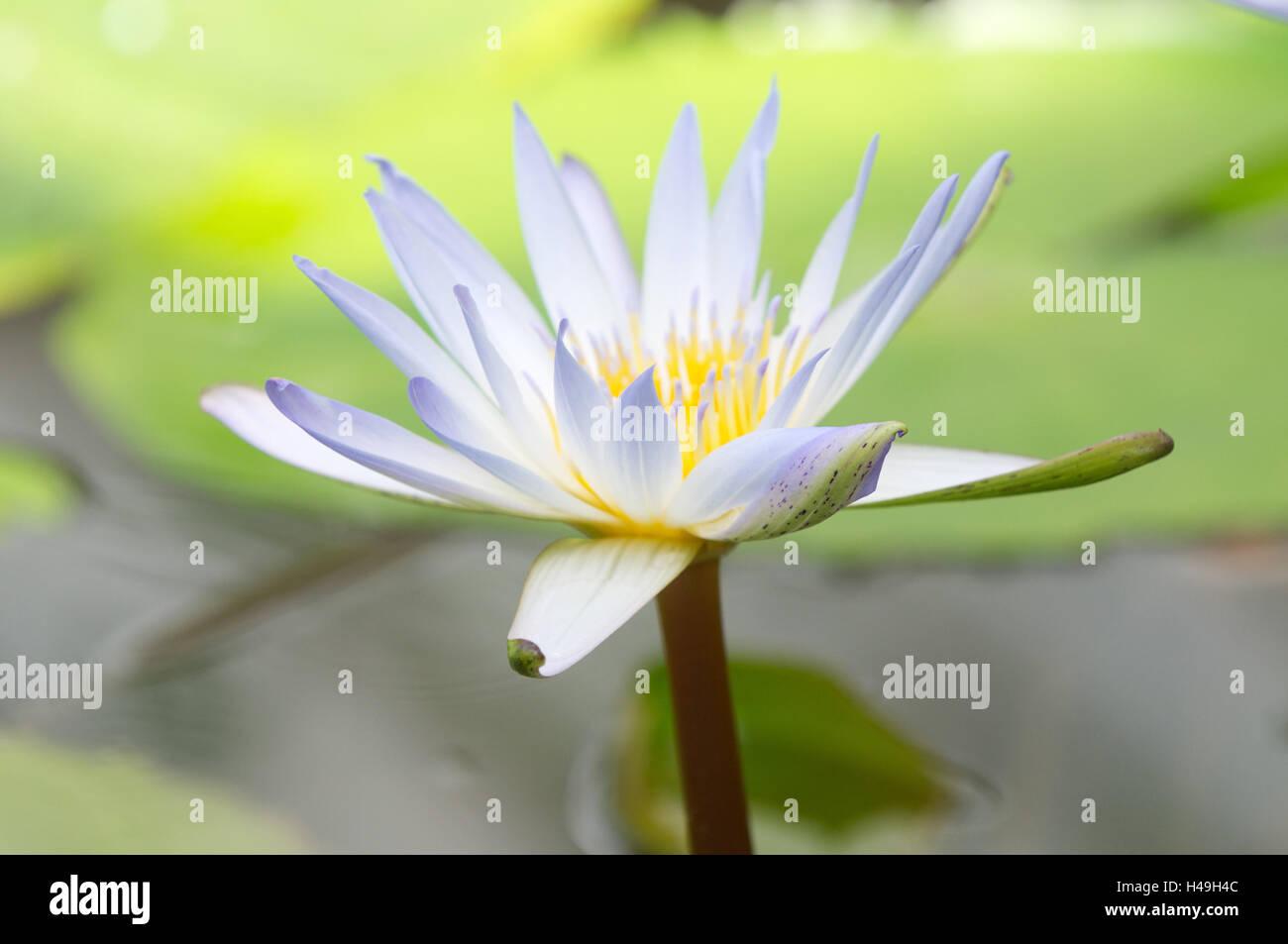 White Egyptian Lotus Blossom Close Up Stock Photo 123142220 Alamy