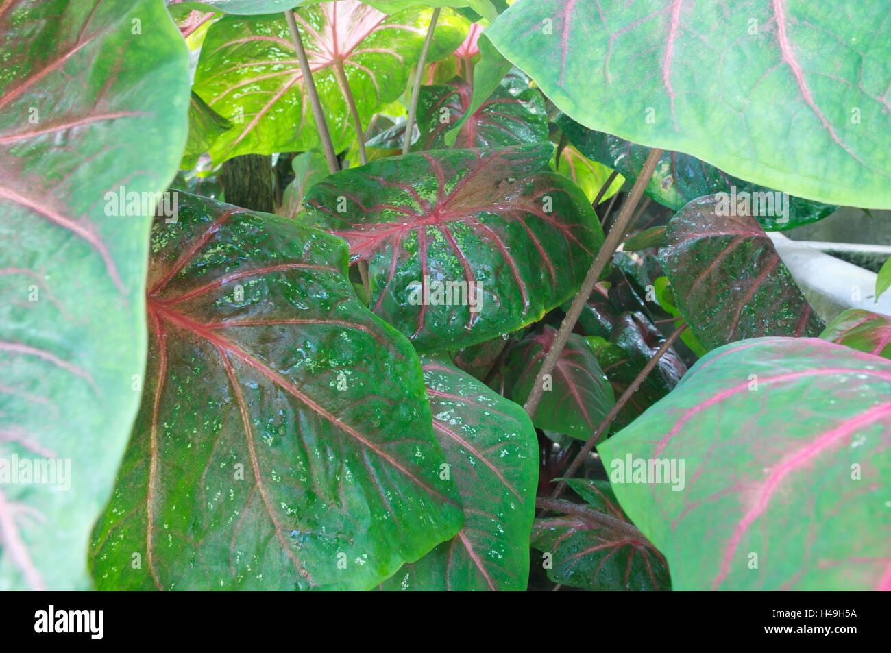bicoloured caladiums, leaves, close-up, Stock Photo