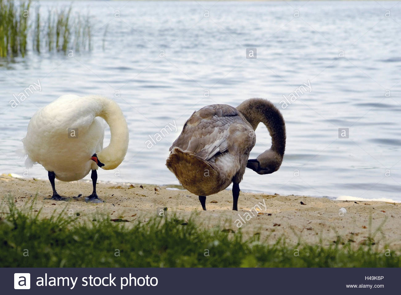 Skirmish lake, shore, two swans clean synchronically her plumage, - Stock Image