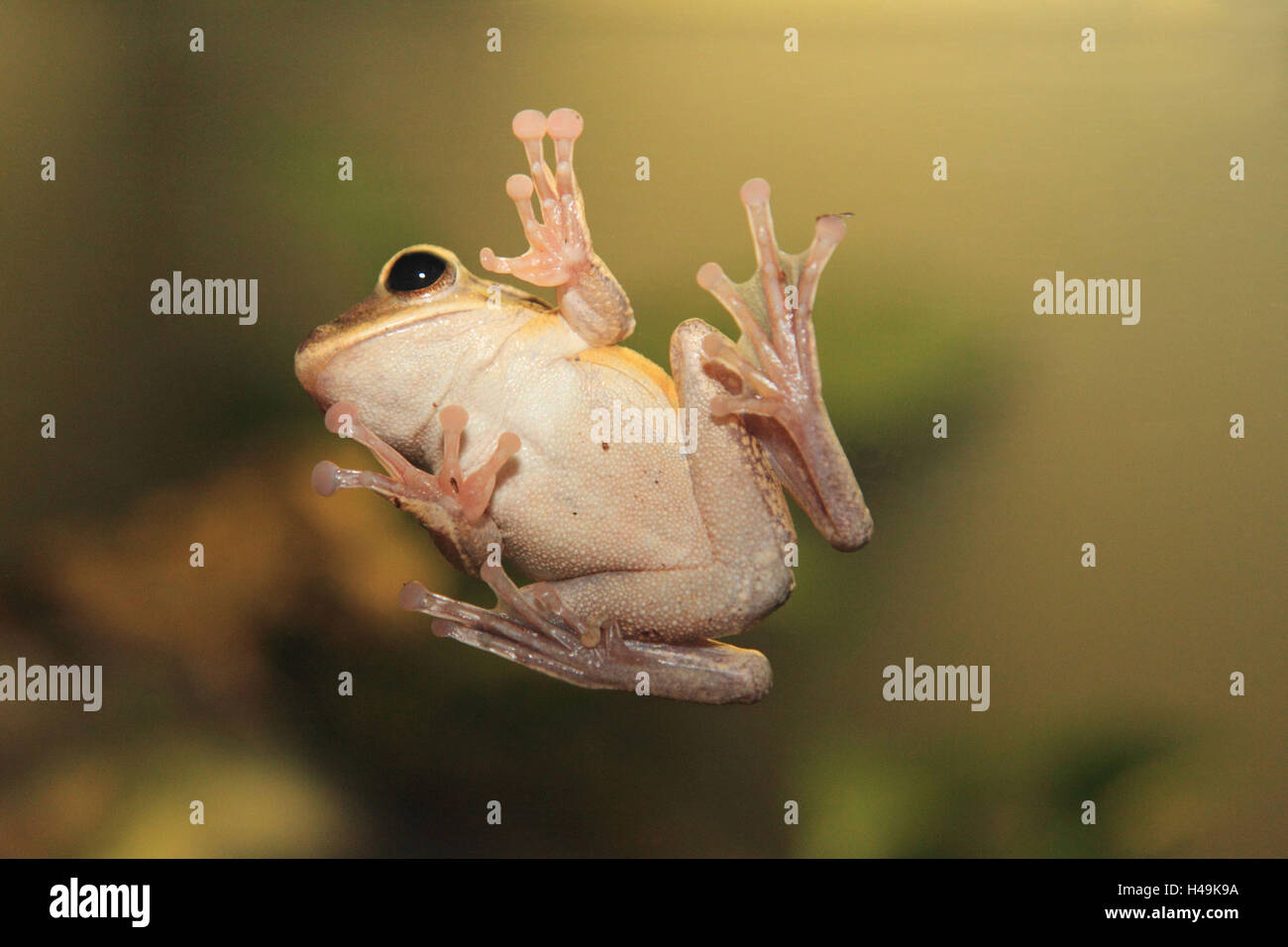 White beard oar frog, - Stock Image