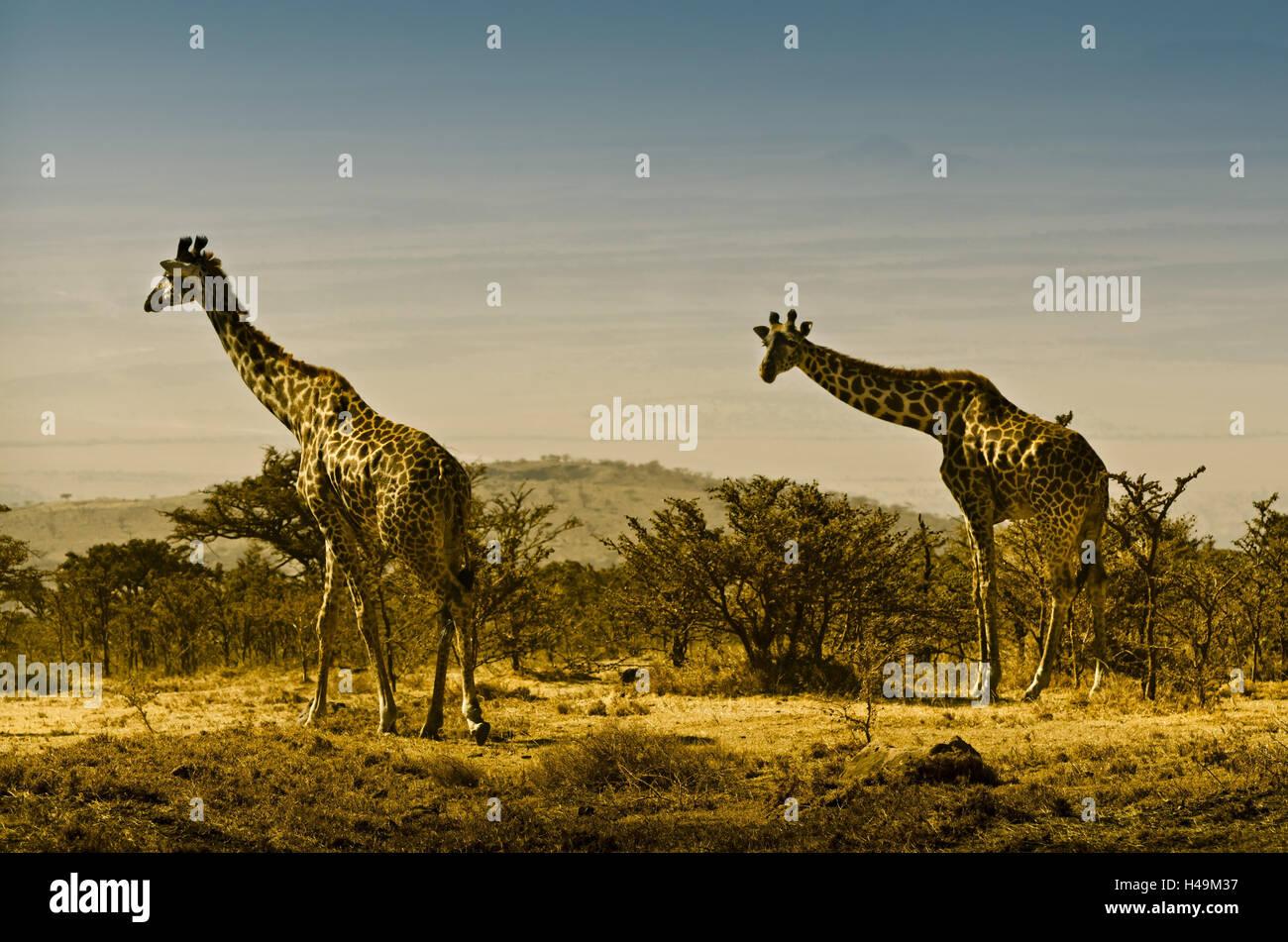 Africa, Tanzania, East Africa, Serengeti, National Park, giraffe, - Stock Image