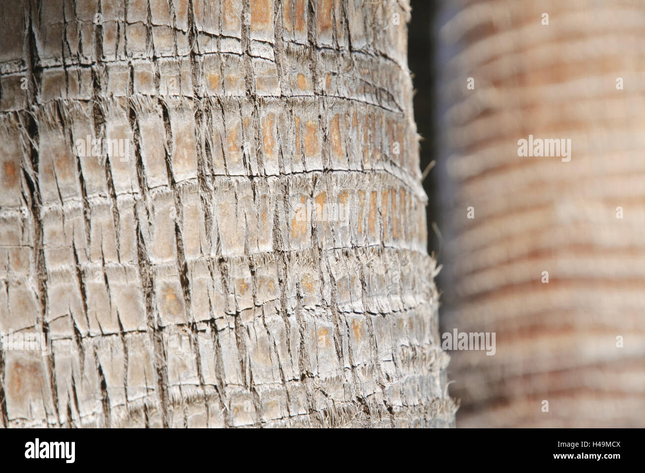 Palm strain, cortex, medium close-up, detail, Majorca, Spain, - Stock Image