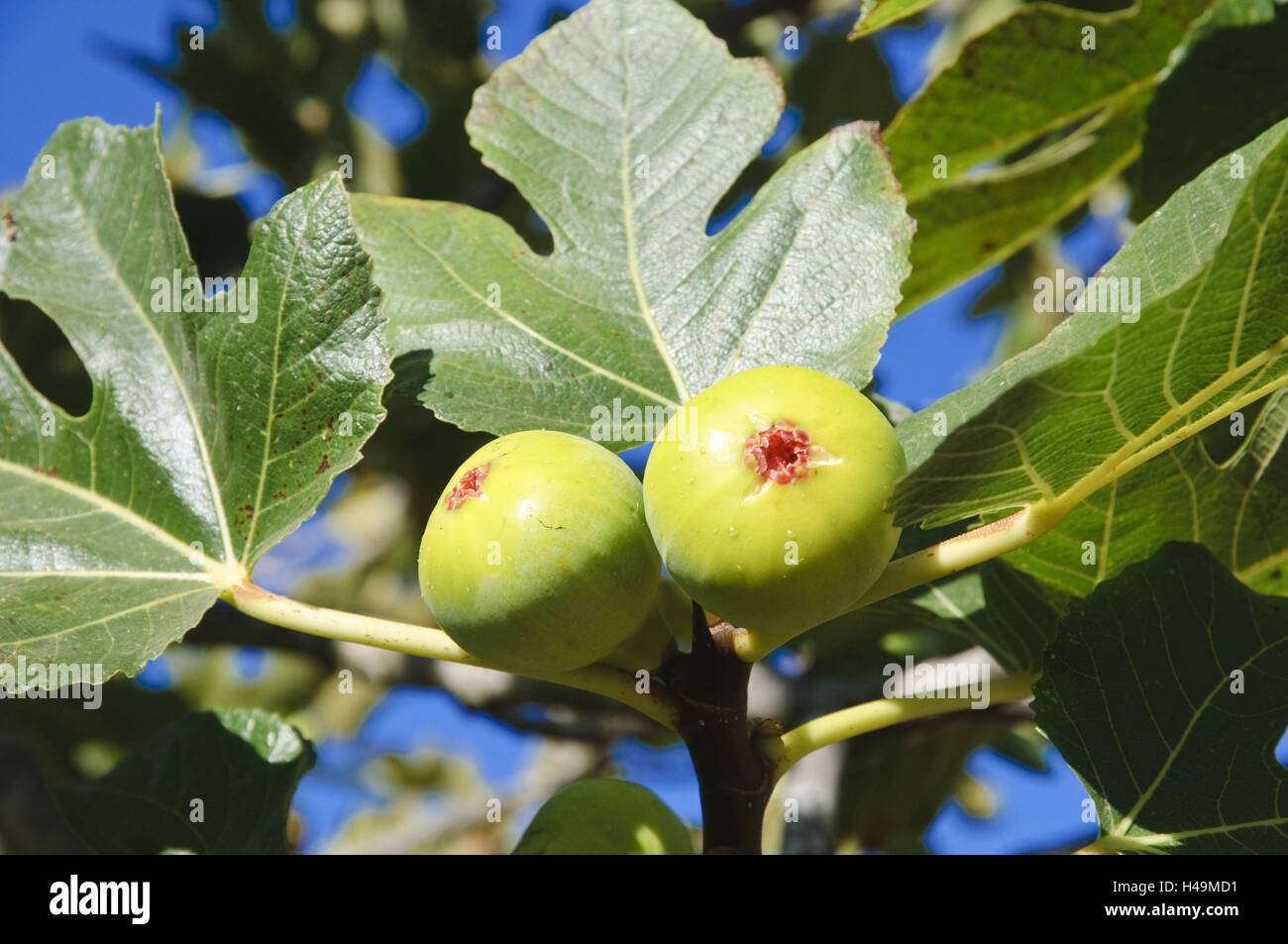 Figs tree stock photos figs tree stock images alamy - Olive garden westminster maryland ...