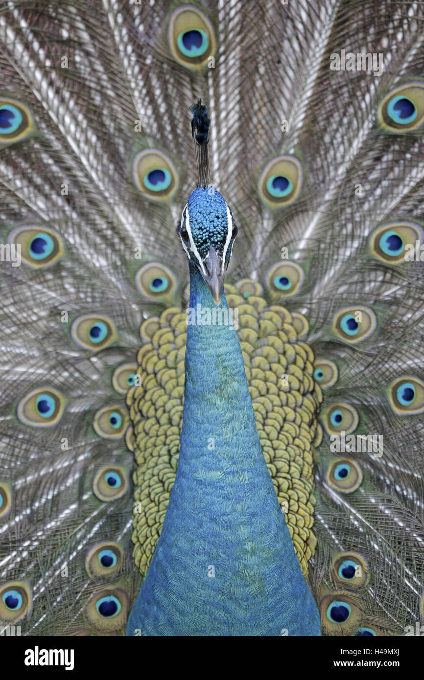Blue peacock, Pavo cristatus, portrait, - Stock Image