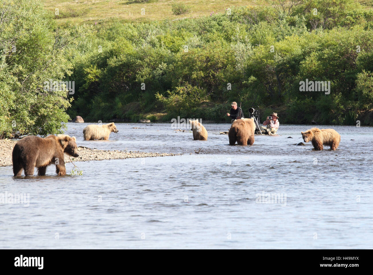 river, grizzly bear, photographer, water, - Stock Image