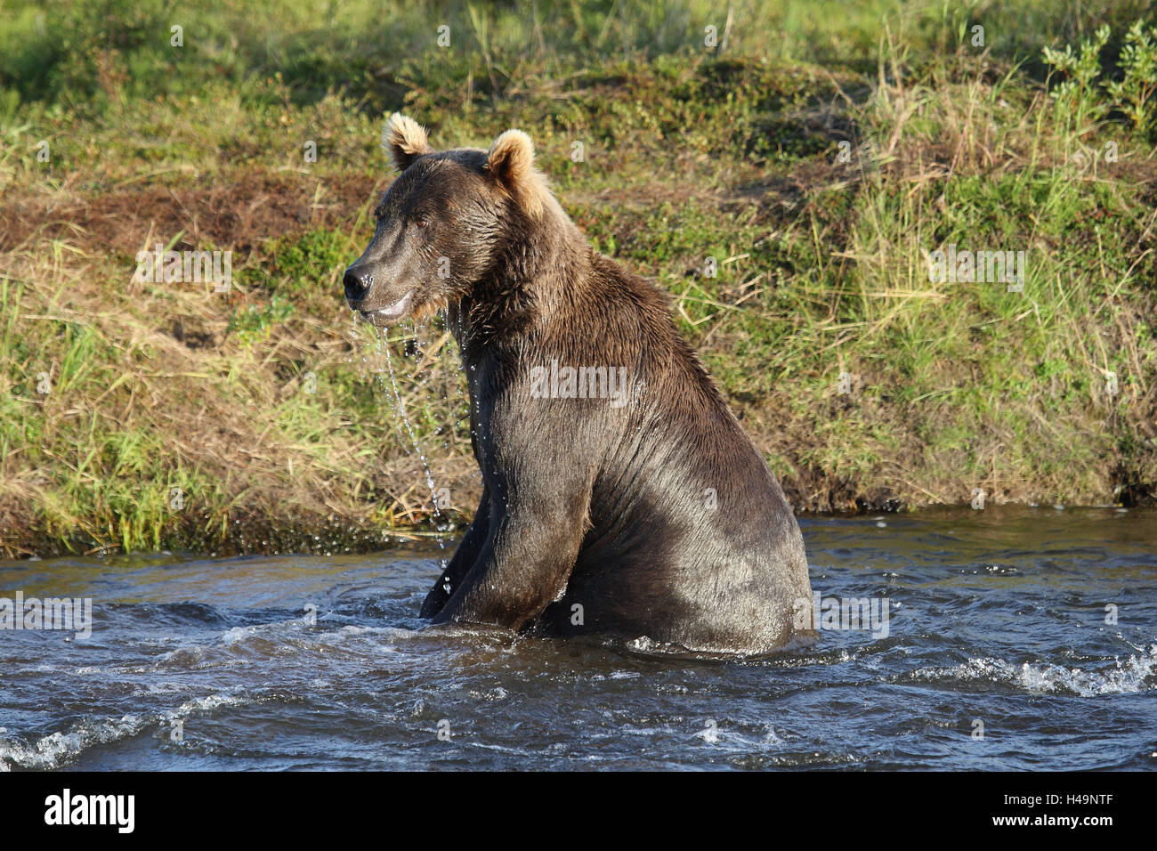 Grizzly, water, - Stock Image