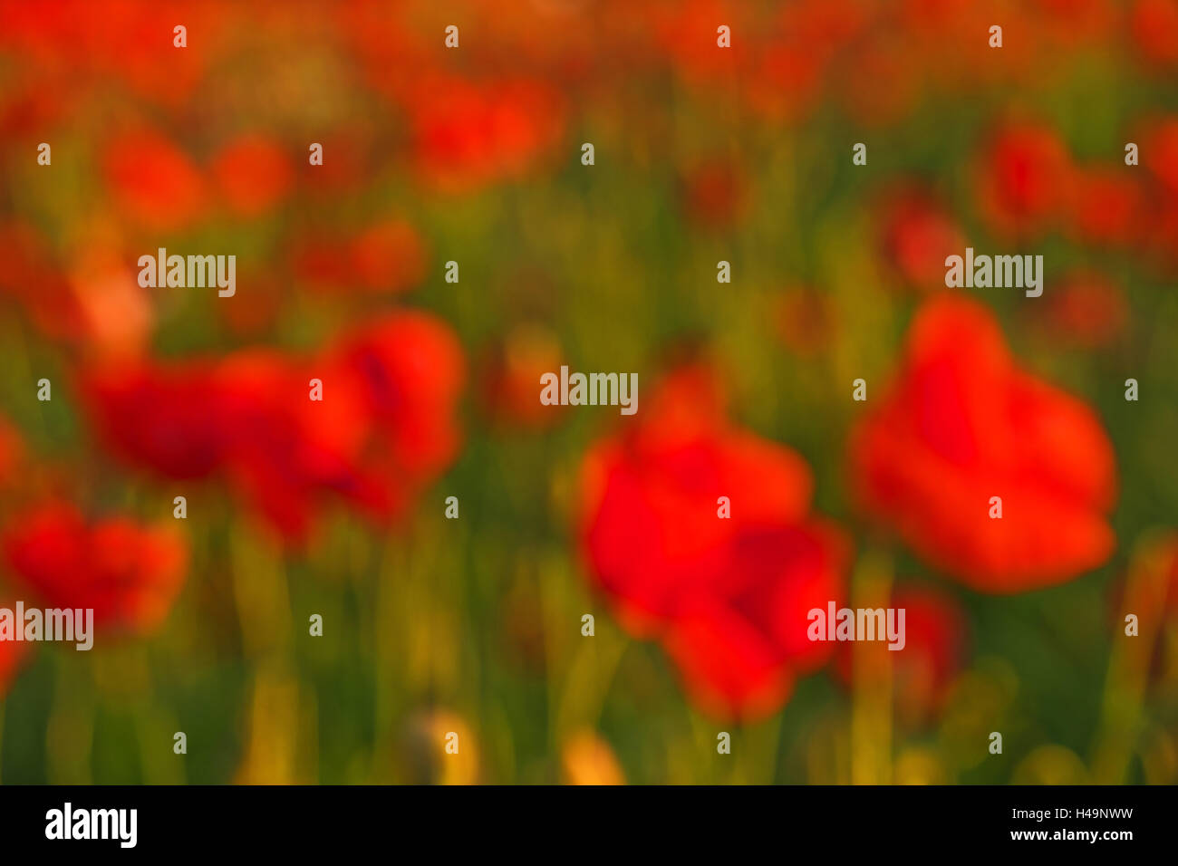 Poppy blossom, focused on blur, representation of a 'painting', - Stock Image