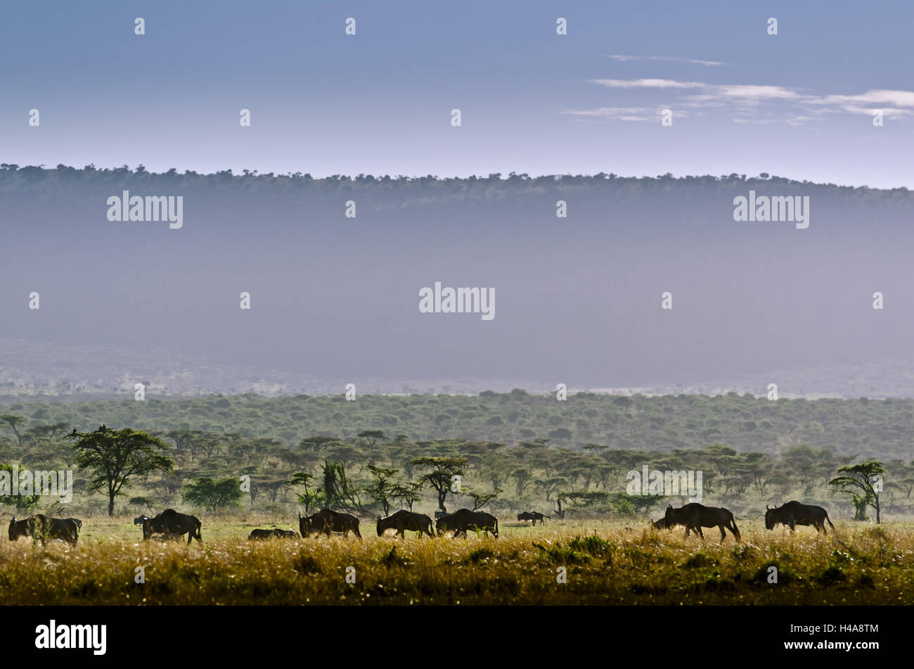 Africa, East Africa, Tanzania, Serengeti, animal world, gnus, - Stock Image