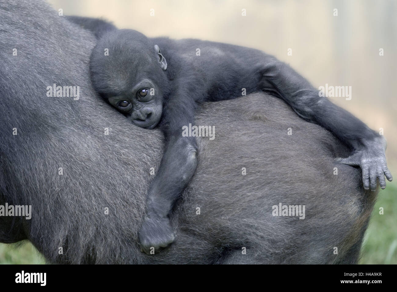 Plain gorilla, gorilla gorilla gorilla, mother animal, back, detail, young animal, hold on, animal world, animals, - Stock Image