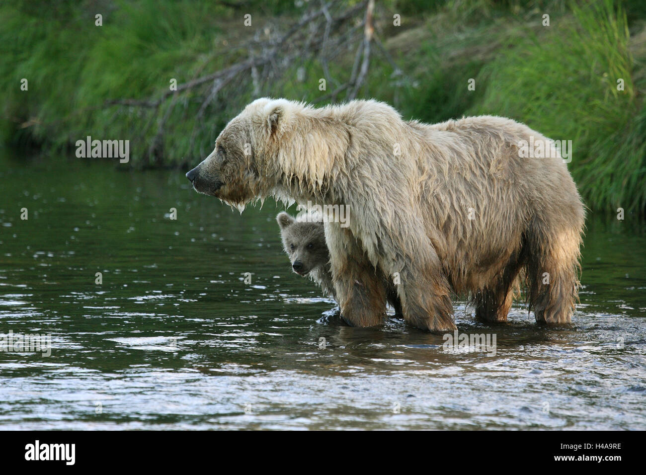 Grizzly bears, she-bear, young animal, water, - Stock Image
