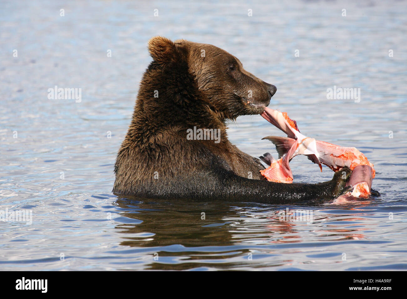 Grizzly, water, salmon, eat, - Stock Image