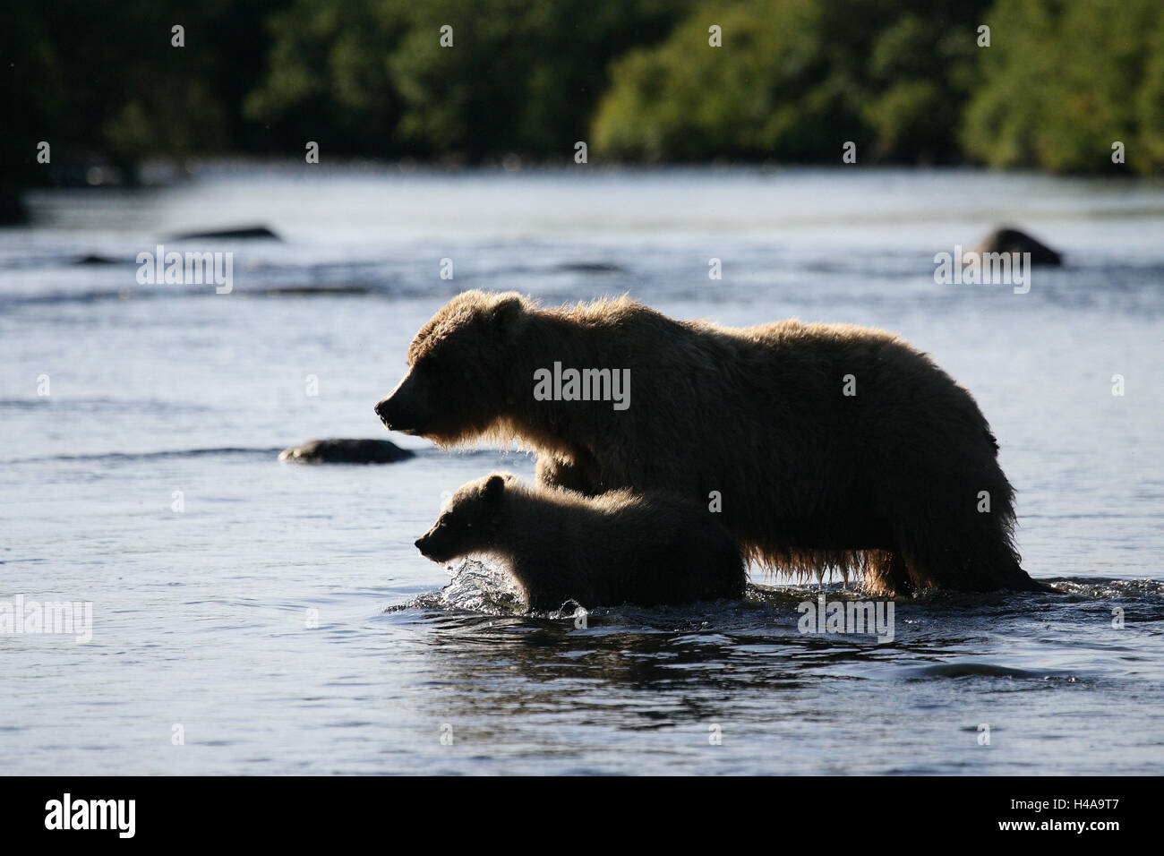 Grizzly bears, she-bear, young animal, river, - Stock Image