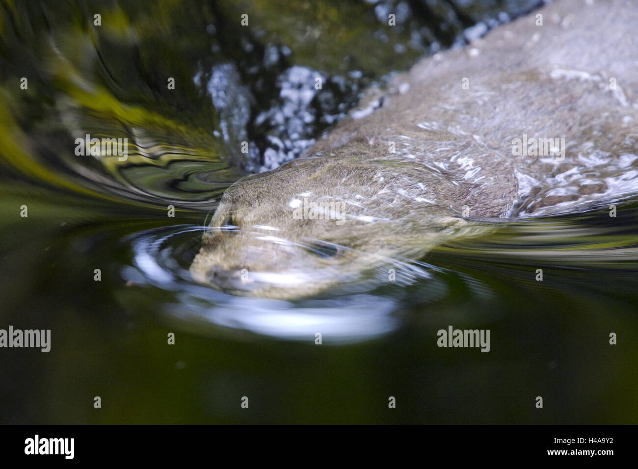 Otters, Lutra lutra, water, swim, disappear, animal world, wilderness, Wildlife, wild animal, animal, mammal, predator, - Stock Image