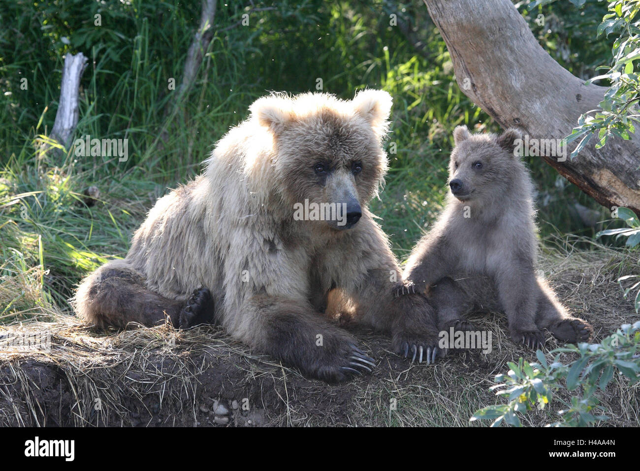 Grizzly bears, she-bear, young animal, - Stock Image