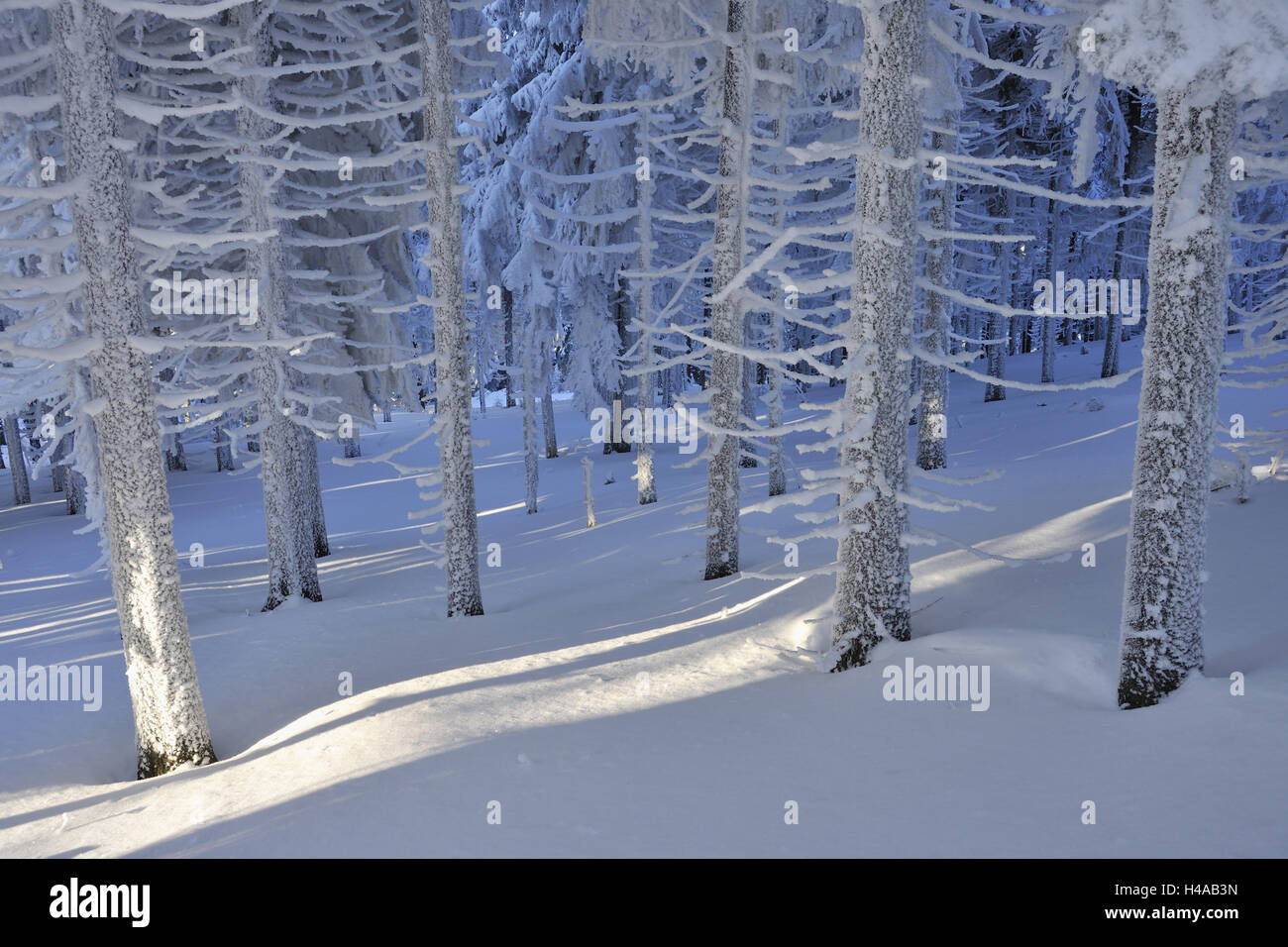 Snowy conifers in the forest, winter, Schneekopf, Gehlberg, Thuringia, Germany, - Stock Image