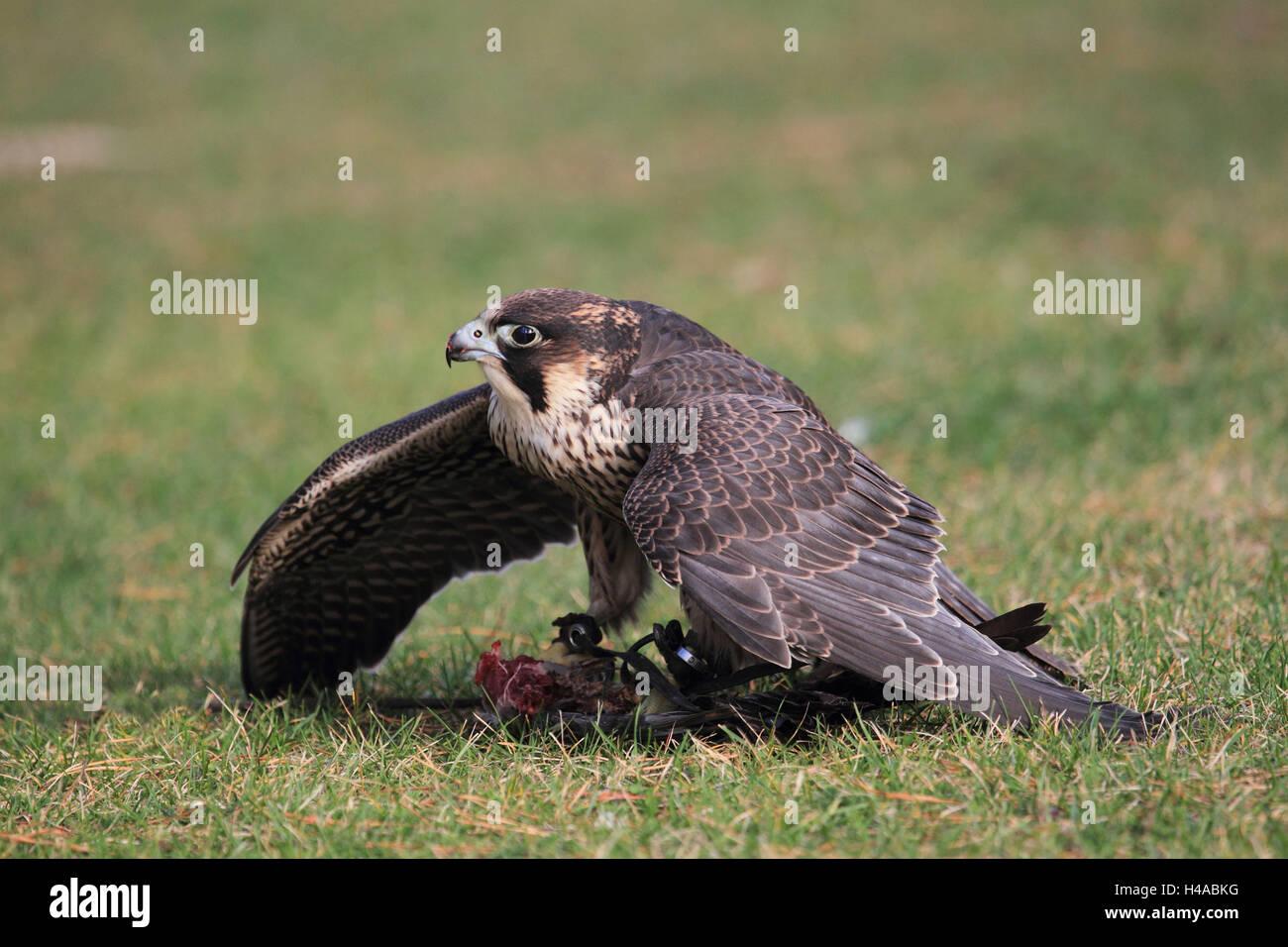 Peregrine falcon with prey, - Stock Image