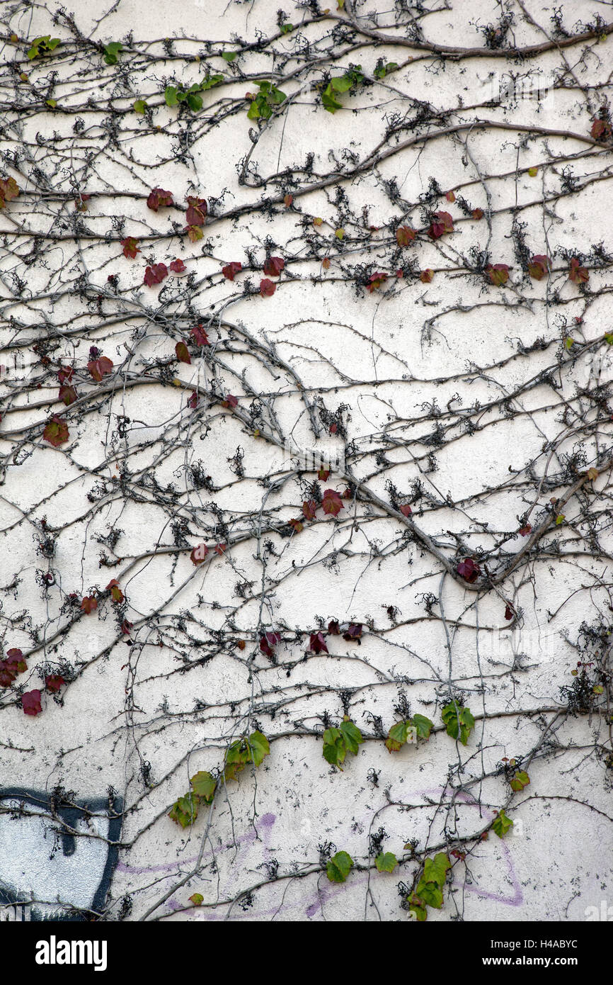 More poorly, climbing plant, covered, wine, - Stock Image