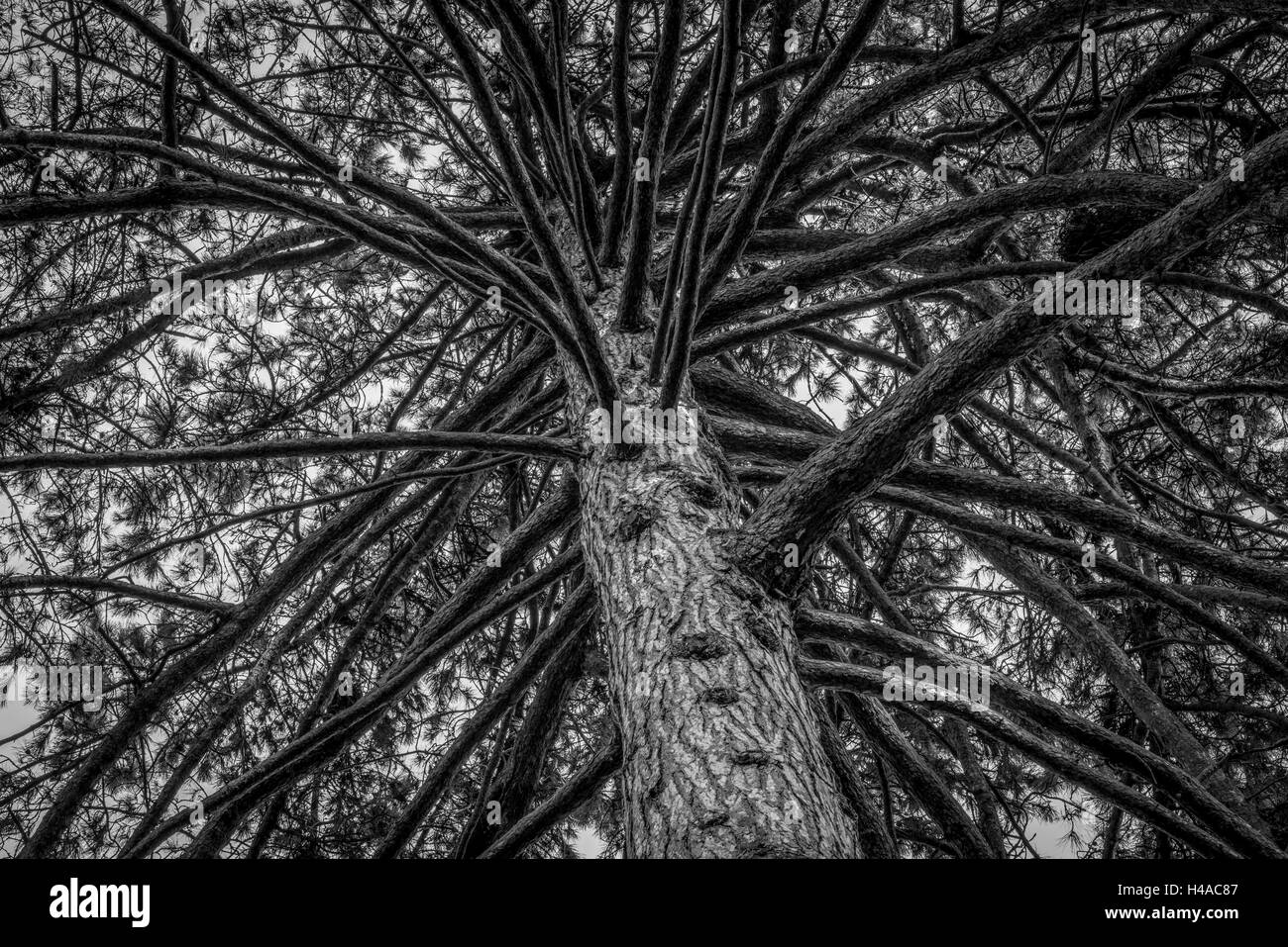 Pine tree branches - Stock Image