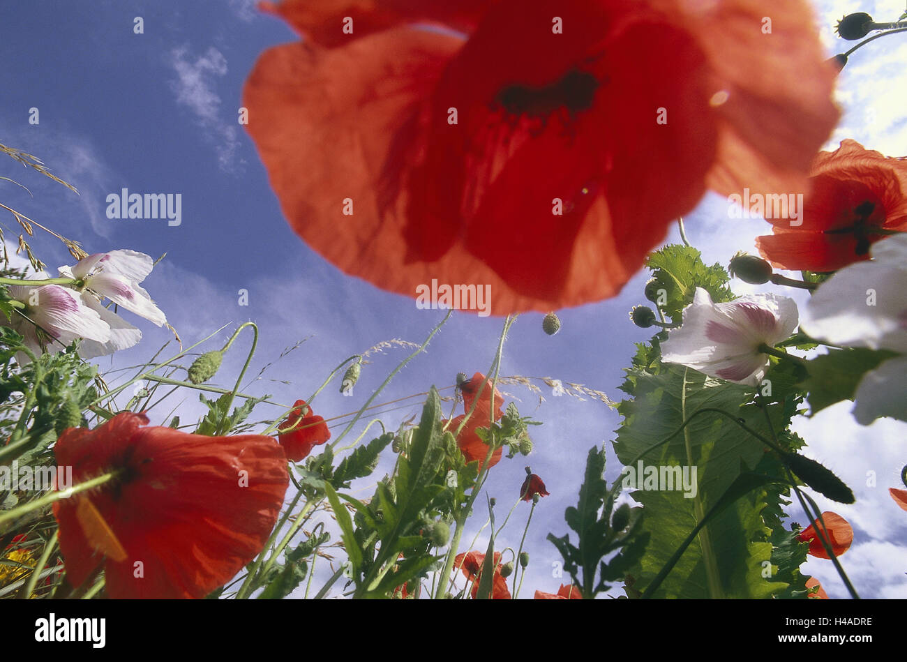 Flower meadow clap poppy seed sky perspective nature botany flower meadow clap poppy seed sky perspective nature botany vegetation meadow grass wild flowers poppy seed poppies blossom summer summery mightylinksfo