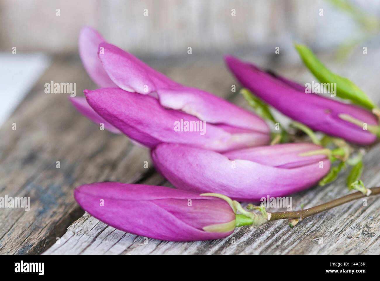 Magnolia, blossoms, buds, magenta - Stock Image