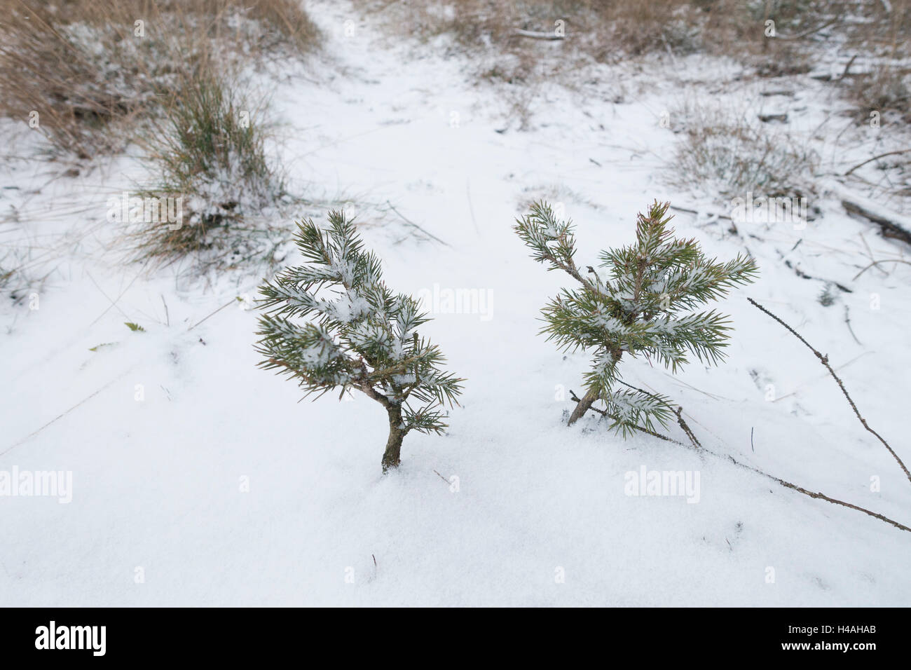 two young spruces in the snow - Stock Image