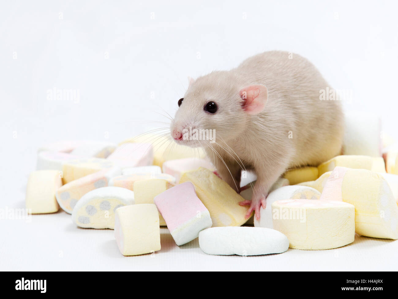 Decorative rat and marmalade. - Stock Image