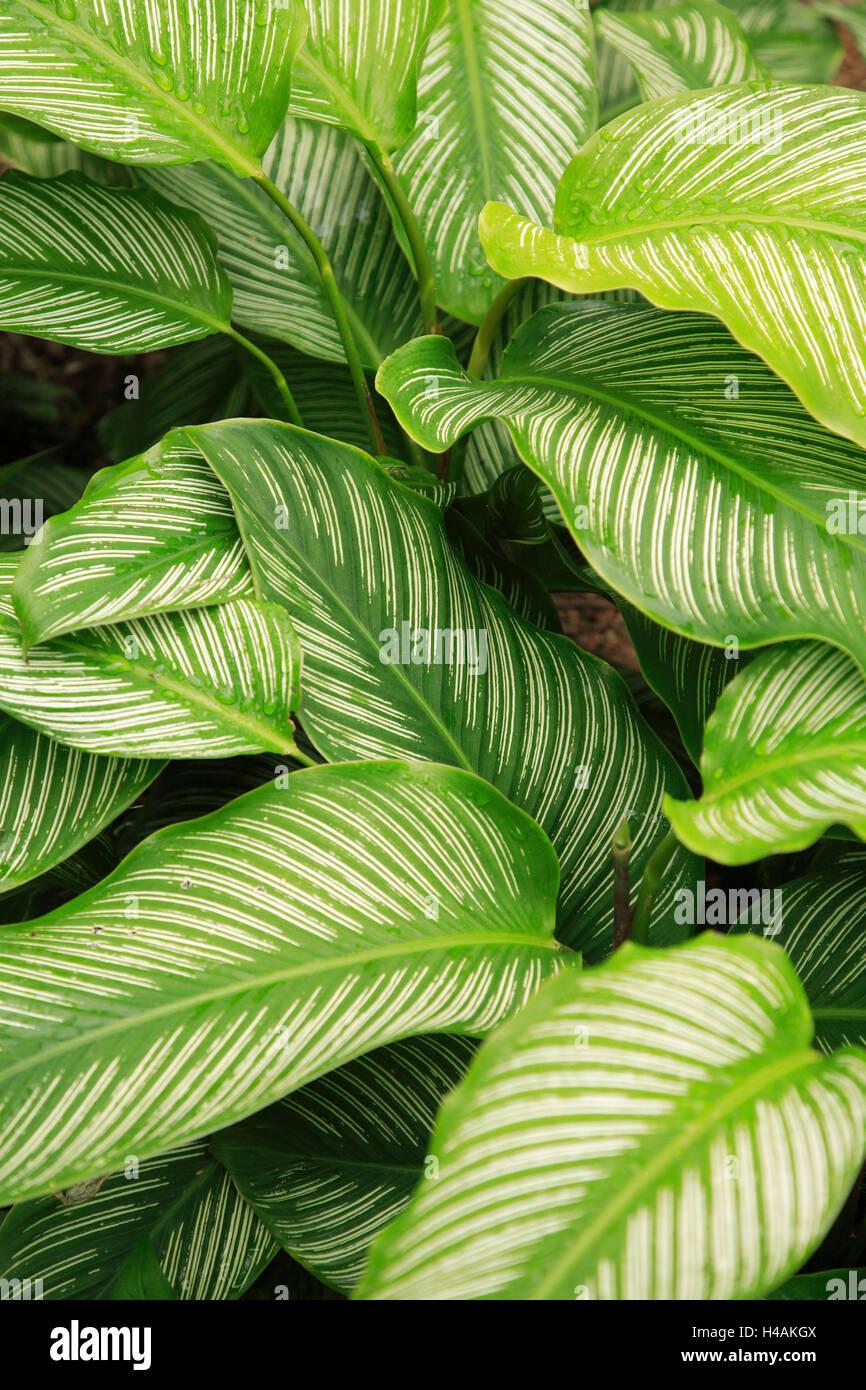 Brazil, Rio de Janeiro, botanical garden, primeval forest, Dieffenbachie, Dieffenbachia amoena, leaves, detail, - Stock Image