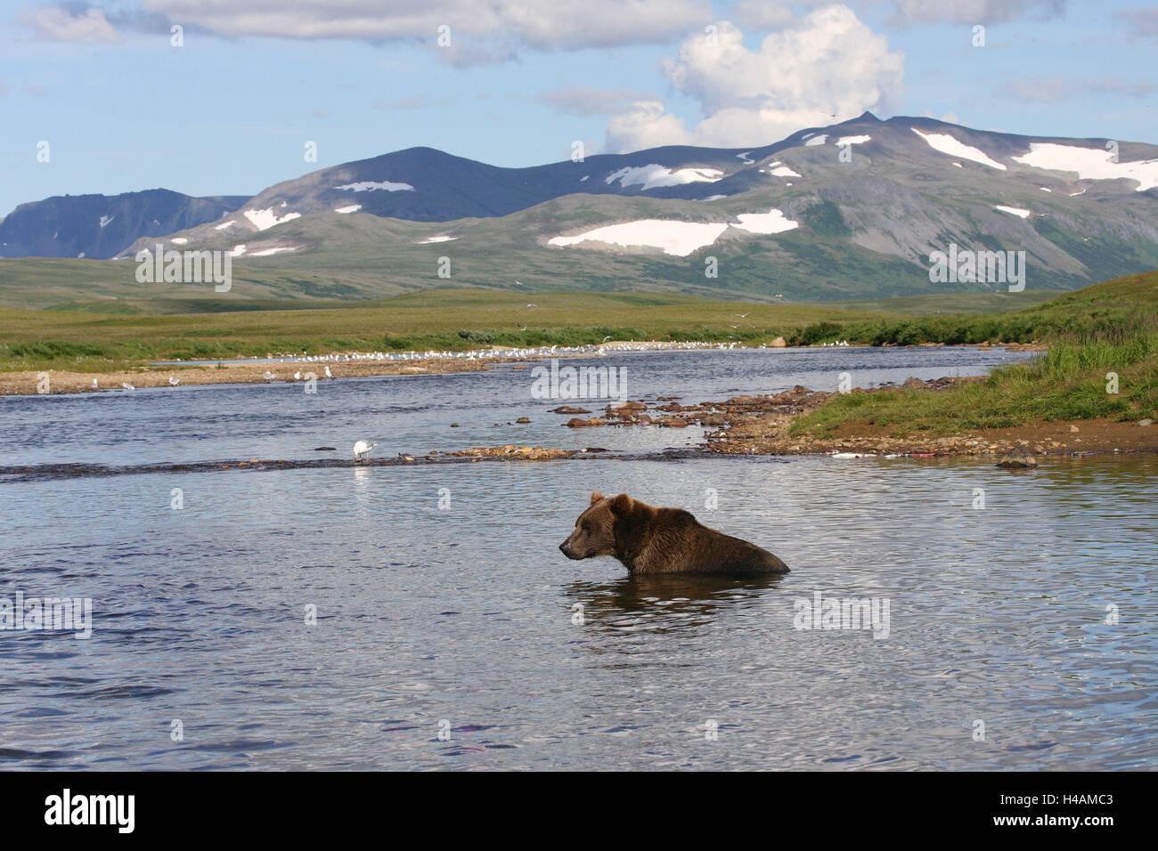 Alaska, Katmai national park, scenery, river, Grizzly, - Stock Image