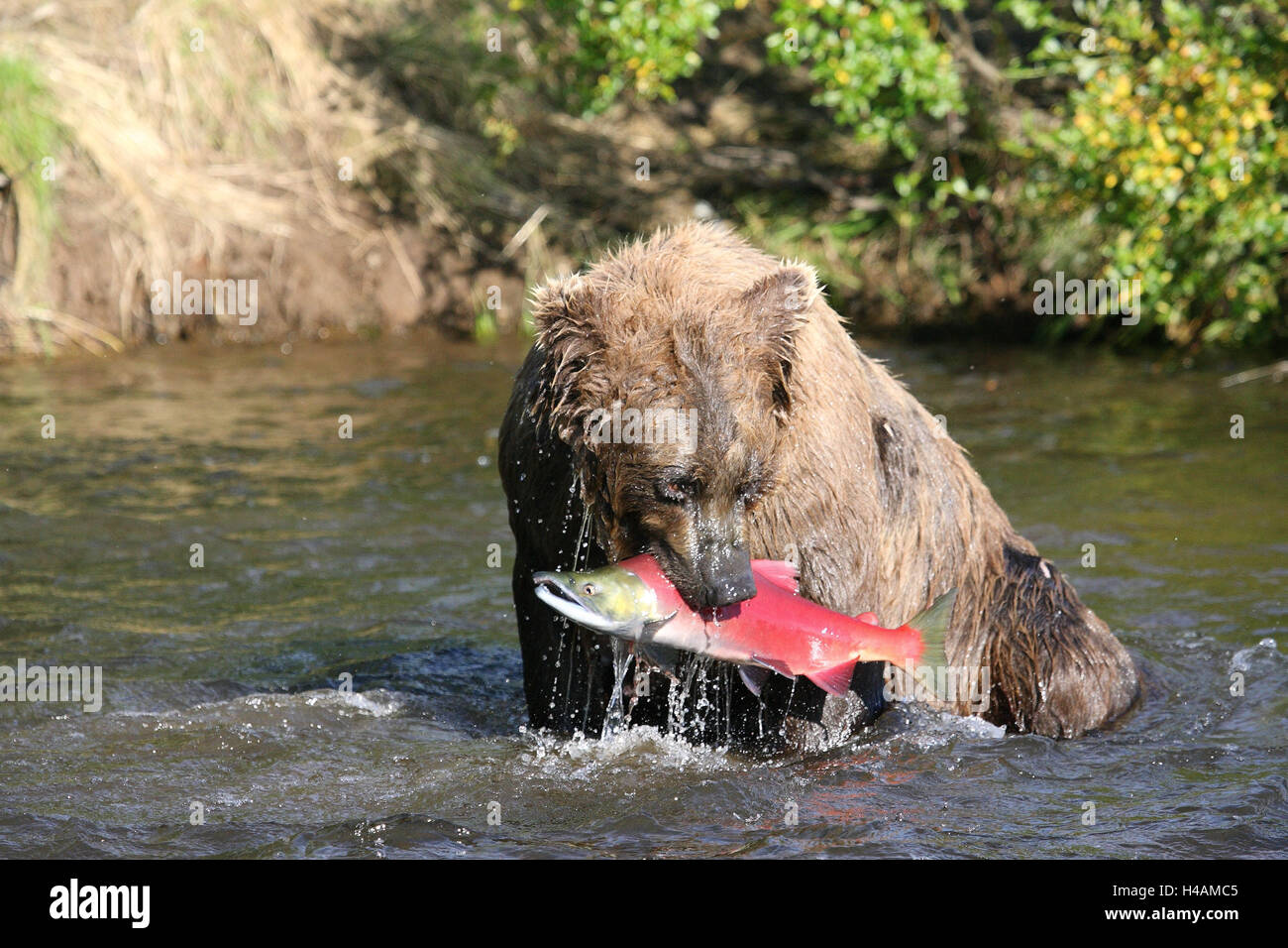 Grizzly, salmon, mouth, - Stock Image