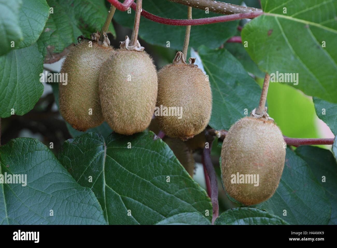 Kiwi plant, fruits, - Stock Image