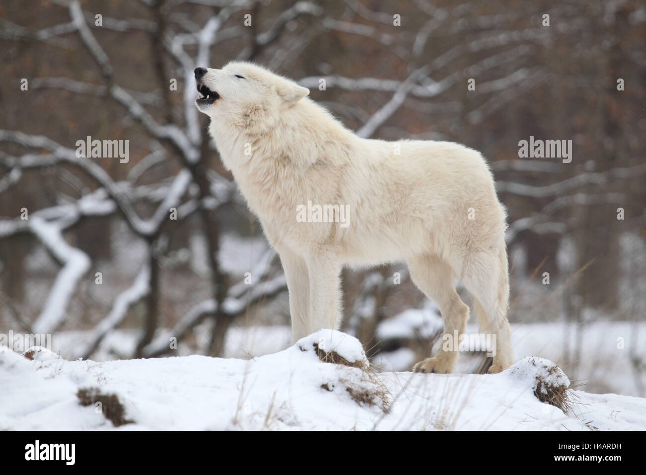 Tundra wolf stands in the snow and howls, - Stock Image