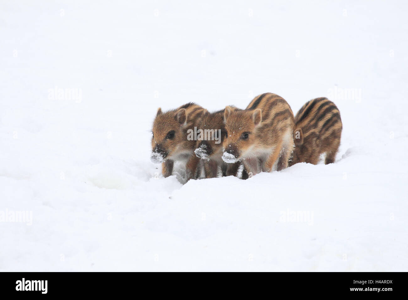 Four young wild boars in the snow, - Stock Image