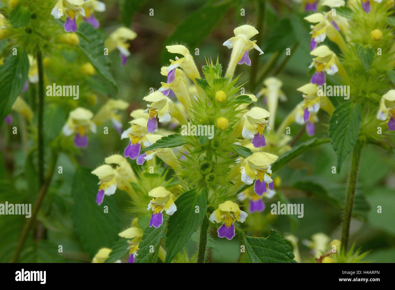 Blossoms of the large-flowered hemp-nettle on a debris surface, galeopsis speciosa, colored, blossoms, forest edges, - Stock Image