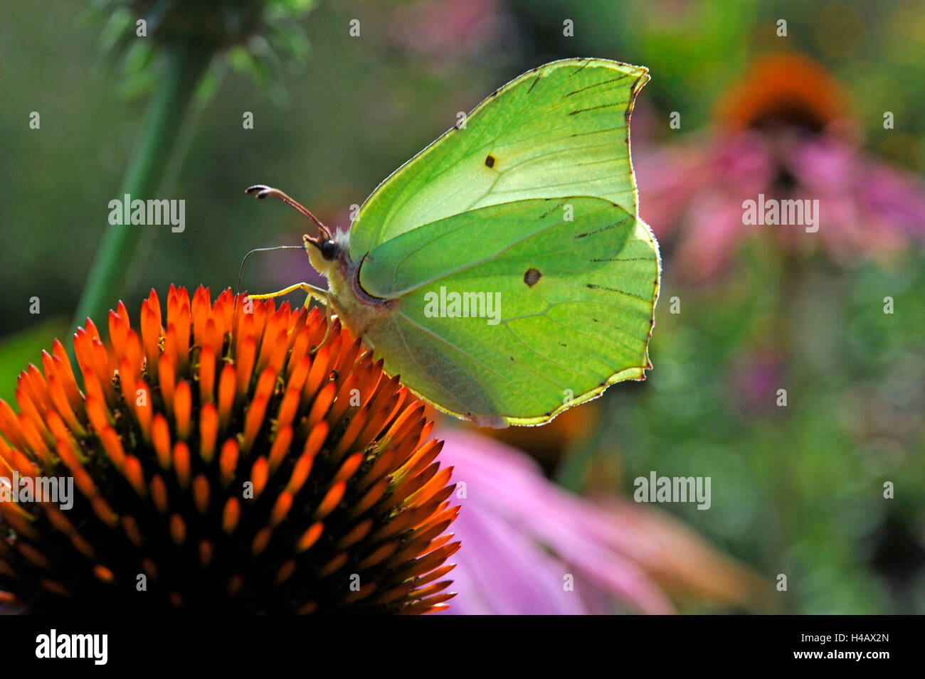 Brimstone butterfly lowering the proboscis in the tongue blossoms of a purple coneflower, also Rudbeckia, in the - Stock Image