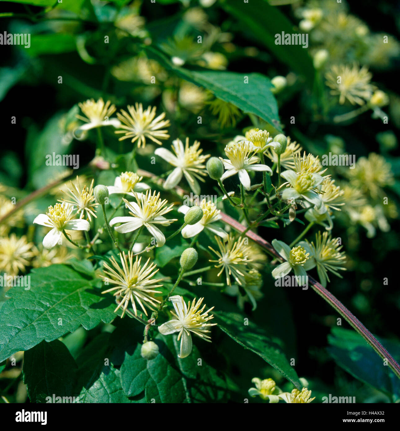In riparian woods and at edges of the forest grows as a liana the Old man's beard, Clematis vitalba, a toxic - Stock Image
