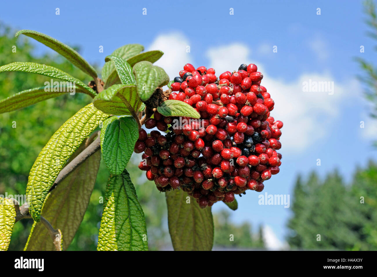 The red fruits of the leatherleaf viburnum, Viburnum rhytidophyllum, staining black later Stock Photo