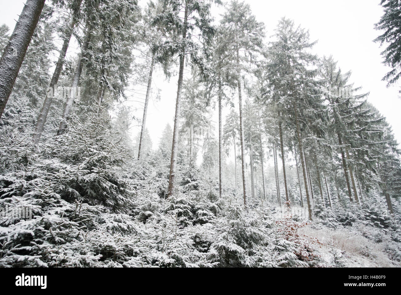 Winter forest with spruces and snow - Stock Image