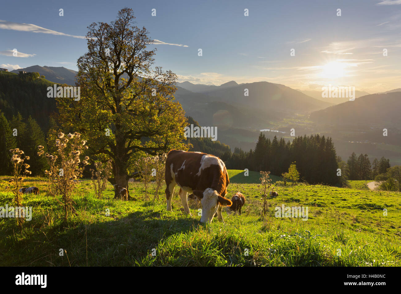 Evening mood at the Kitzbüheler Horn, cows, Tyrol, Austria - Stock Image