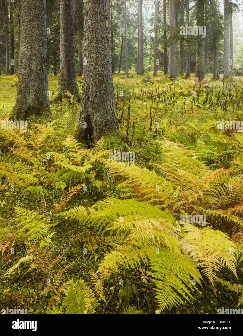 Ferns in a coniferous forest, Lechquellen Mountains, Vorarlberg, Austria - Stock Image