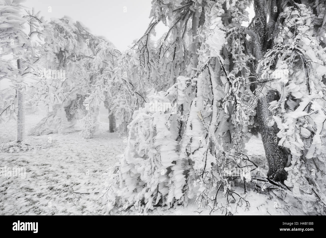 iced up weeping willows in the Wechsel region, Lower Austria, Austria - Stock Image