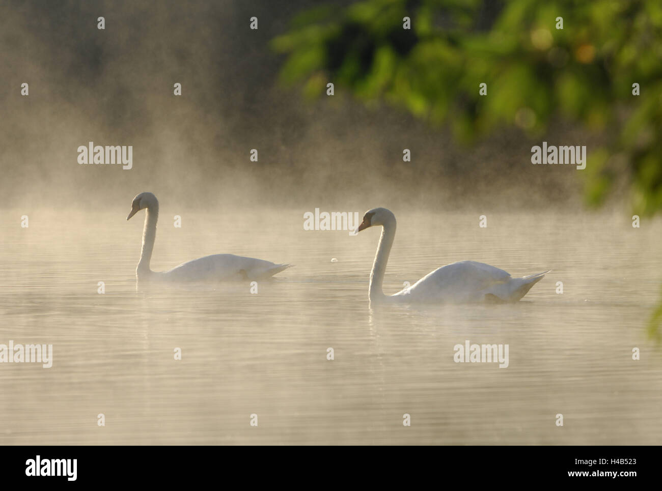 Hump swans, water, fog, - Stock Image