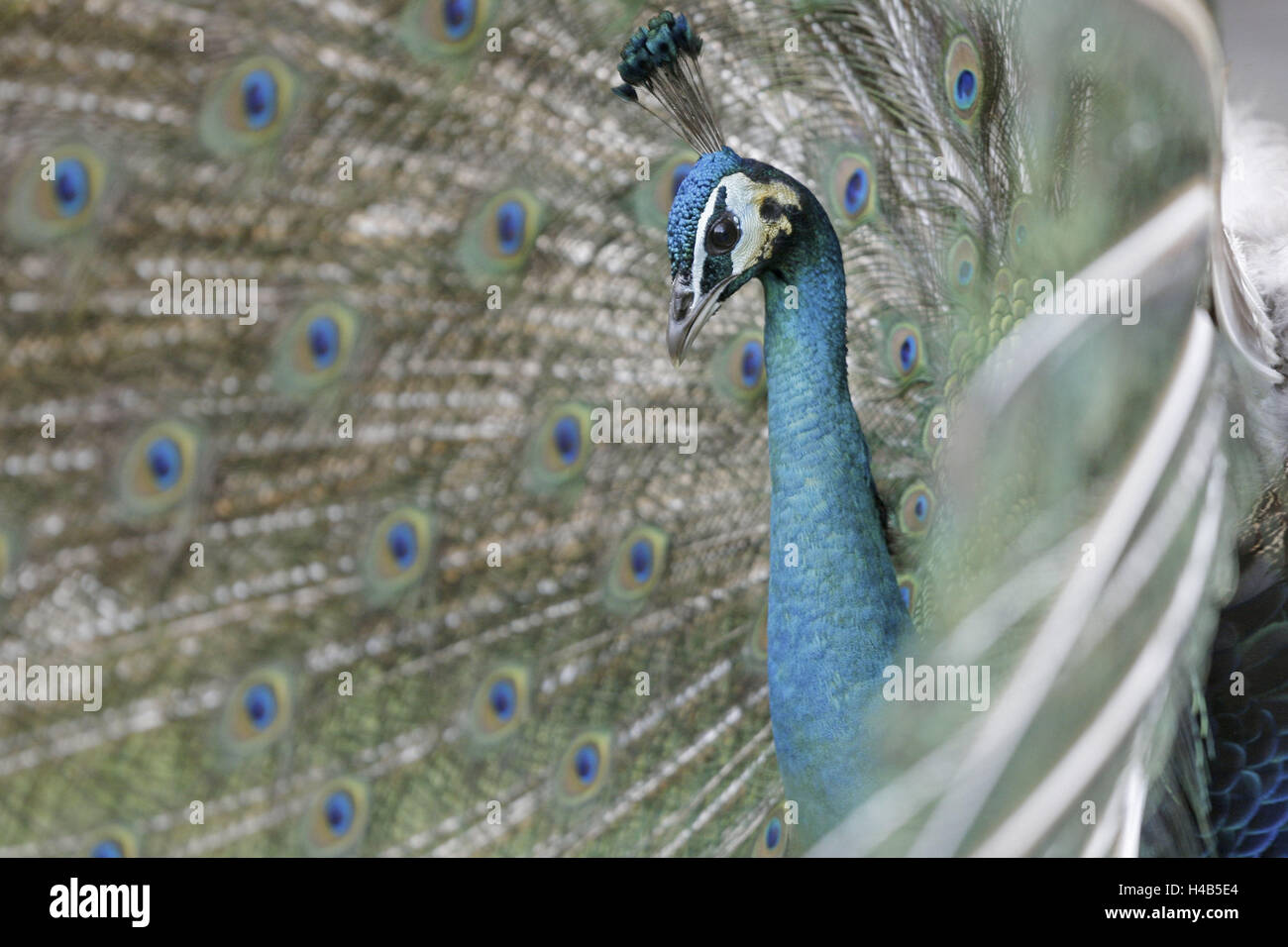 Blue peacock, Pavo cristatus, tread, little man, animal portrait, animal, zoo, zoo animal, bird, ave, gallinaceous - Stock Image