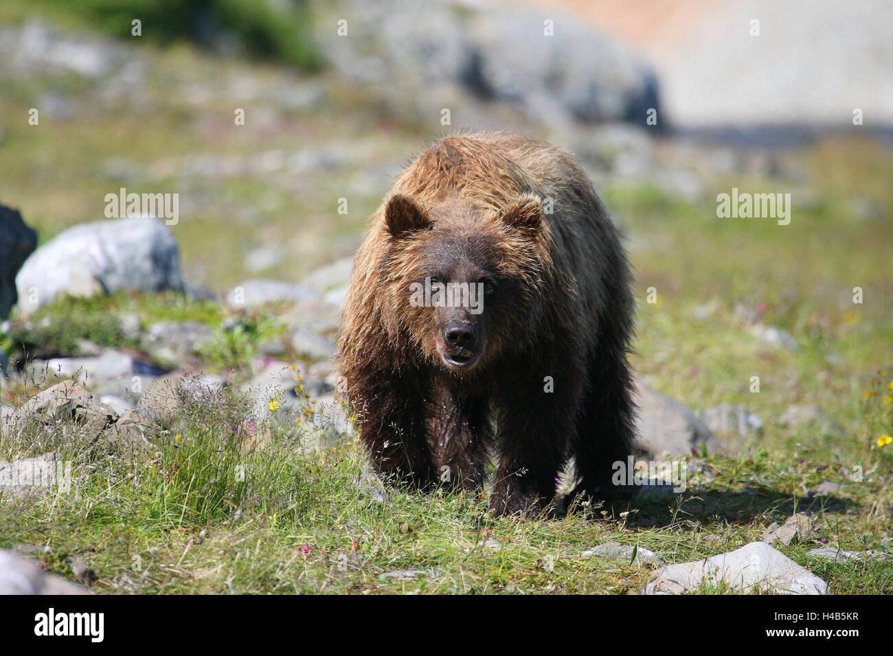 Grizzly, riverside, - Stock Image