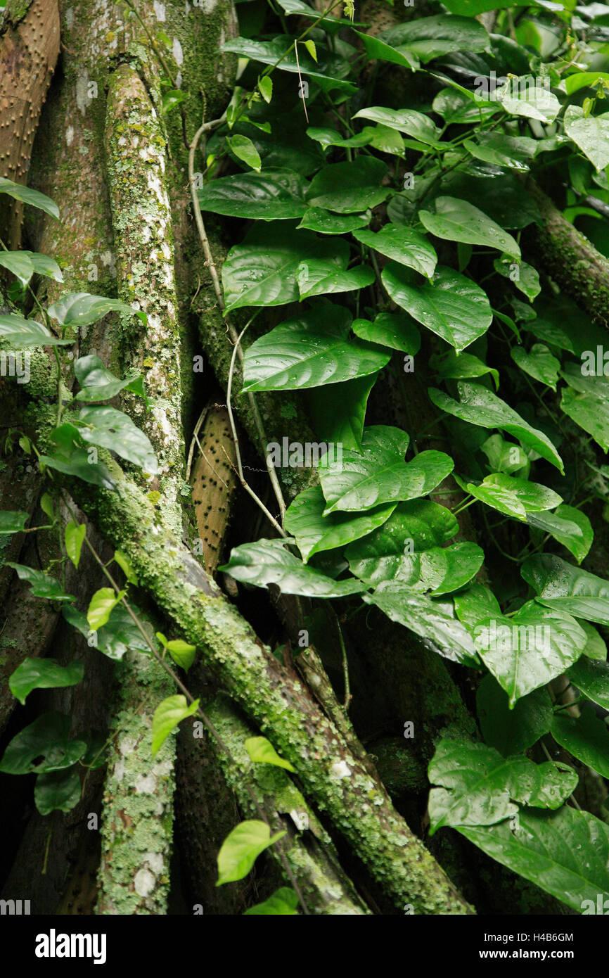 Brazil, Rio de Janeiro, botanical garden, primeval forest, detail, South America, destination, place of interest, - Stock Image