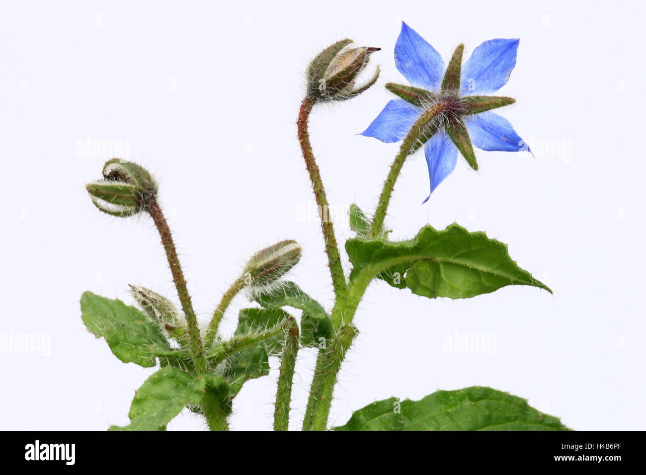 Borage, blossom, buds, cut outs, - Stock Image