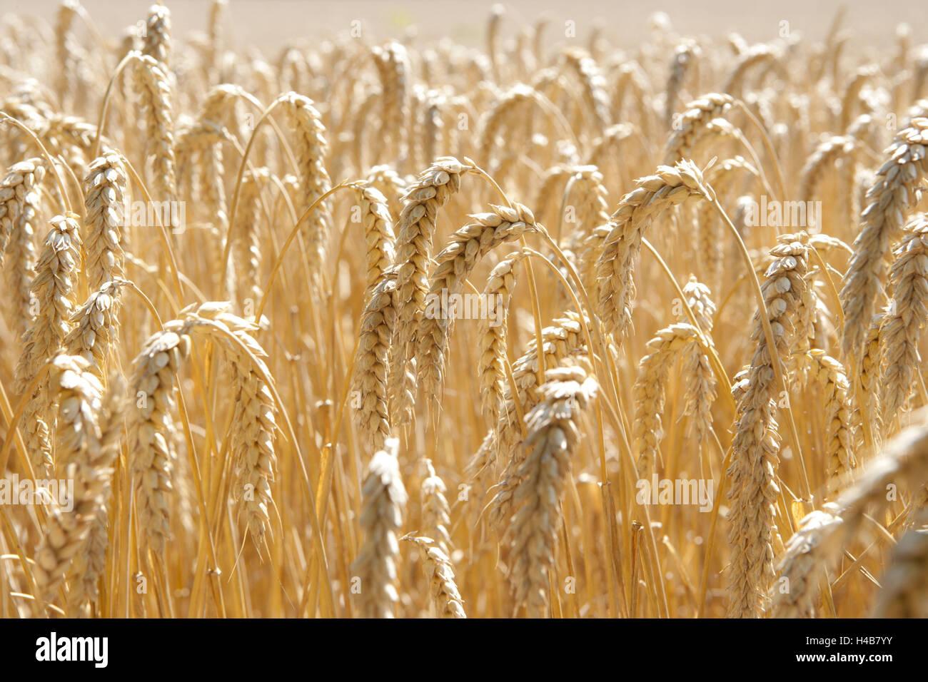 Grain ears, close-up, - Stock Image